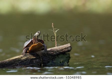 Painted turtle on log