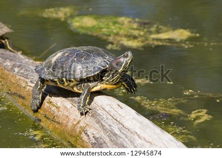 Painted Turtle Stepping on a Log