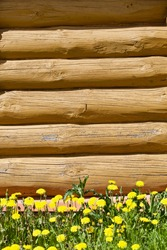 Painted wall of the wooden log house close-up. Log cabin made from wood. A part of an arctic pine log house. Green grass and bright flowers in front of a wall of a wooden log cabin. Rural lifestyle.