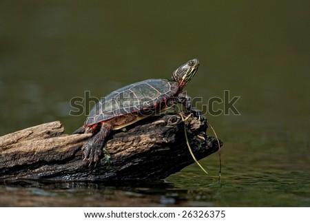 Painter turtle on log