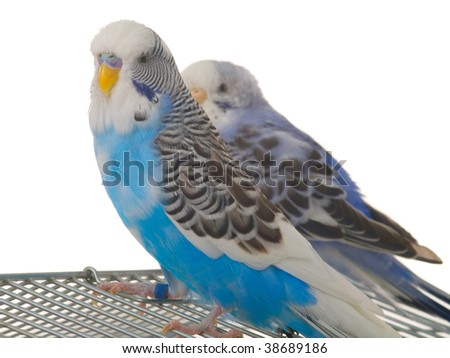 pair budgerigar on cage