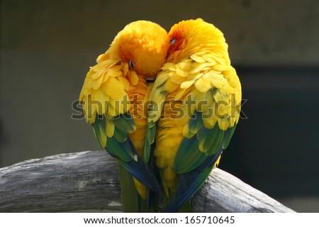 Pair lovebirds