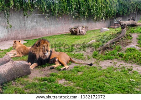 Pair of adult Lion animals resting in zoological garden