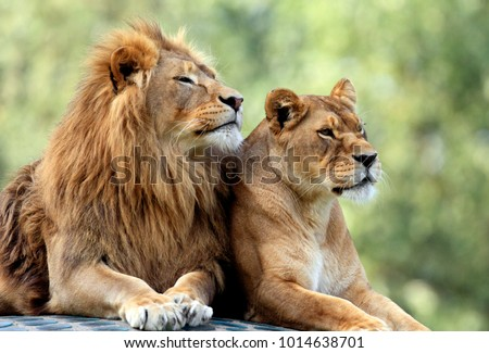 pair of adult lions in...