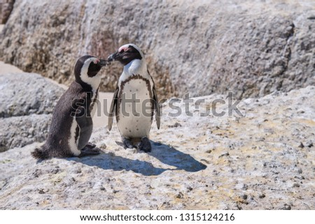 Pair of African penguin on a large rock with affection display. Beak to beak contact