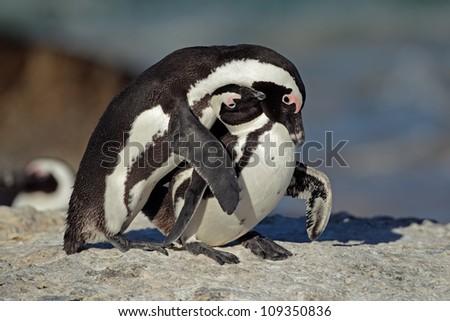 Pair of African penguin (Spheniscus demersus), Western Cape, South Africa