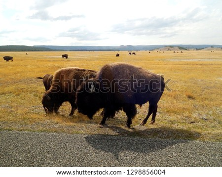 Pair of American bison standing along road at Yellowstone National Park in Wyoming