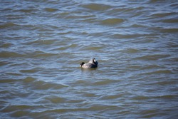 Pair of American coot ducks (Fulica americana) swimming and drinking in choppy water