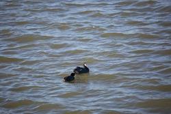 Pair of American coot ducks (Fulica americana) swimming in choppy water