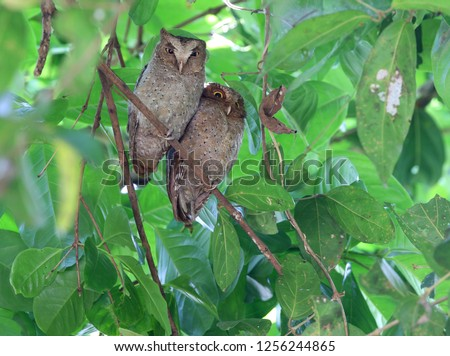 Pair of Andaman scops owls (Otus balli) resting during the day at their day roost on the Andaman islands off India.