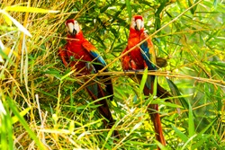 pair of ara macaw parrots in ecuadorian amazonia color eye wildlife colour wing love animal pet amazon emotion bird aviary front nature female rainforest pair ecuador group amazonia couple jungle bran