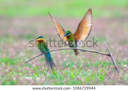 Pair of Beautiful Blue-tailed bee-eater (Merops philippinus) on the dry branches above the meadow, Phetchaburi Thailand.