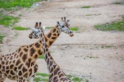 Pair of beautiful giraffes. Couple of giraffes.