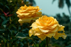 Pair of beautiful yellow-orange rose flowers at a garden in West Bengal.