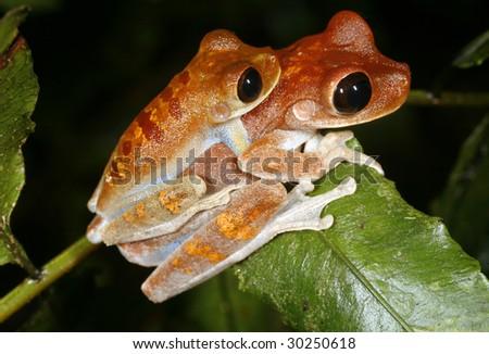 Pair of big-eyed bonehead treefrogs (Osteocephalus exophthalmus) in amplexus in the Peruvian Amazon