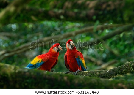 Pair of big Scarlet Macaws, Ara macao, two birds sitting on the branch, Brazil. Wildlife love scene from tropical forest nature. Two beautiful parrots in green habitat.