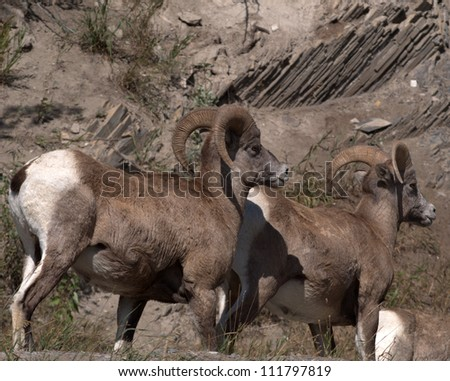 Pair of Bighorn Mountain Sheep rams (Ovis canadensis) in the Bow Valley, east of Banff of Alberta