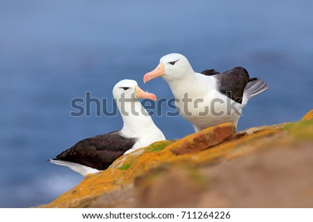 Pair of birds Black-browed albratros. Beautiful sea bird sitting on cliff. Albatross with dark blue water in the background, Falkland Island. Albatross with open bill. Albatross courtship. Bird love.  #711264226