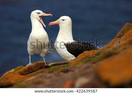 Pair of birds Black-browed albratros. Beautiful sea bird sitting on the cliff. Albatross with dark blue water in the background, Falkland Island. Albatross with open bill. Albatross courtship. #422639587