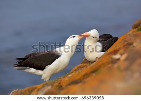 Pair of birds Black-browed albratros. Bird love. Beautiful sea bird sitting on cliff. Albatross with dark blue water in the background, Falkland Island. Albatross with open bill. Albatross courtship. #696339058