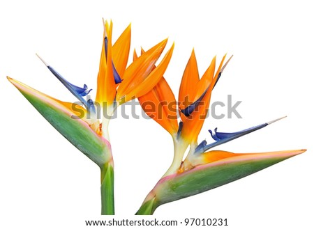 Pair of Birds of Paradise flower (Strelitzia reginae) isolated in white background.