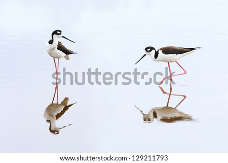 Pair of Black-necked Stilts (Himantopus mexicanus) - Everglades National Park, Florida