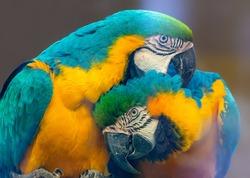 Pair of Blue-and-yellow macaw (Ara ararauna)
