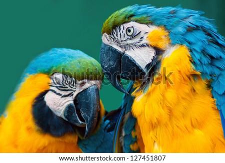 pair of blue ara parrots in love