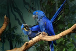 Pair of blue hyacinth macaw (Anodorhynchus hyacinthinus) perched on branch. The largest macaw and flying parrot species. Wildlife scene from nature habitat. Habitat Amazon Basin.