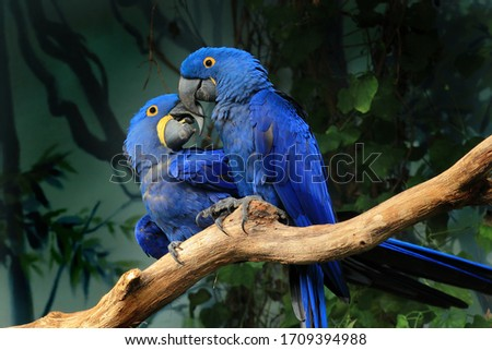 Pair of blue hyacinth macaw (Anodorhynchus hyacinthinus) perched on branch touching beaks. The largest macaw and flying parrot species. Wildlife scene from nature habitat. Habitat Amazon Basin.