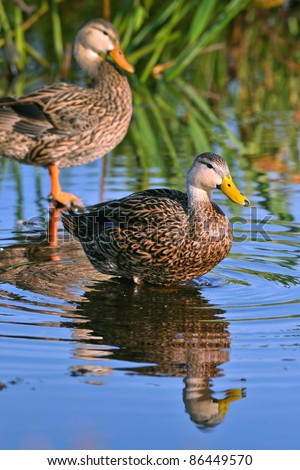 pair of blue winged teal ducks in florida wetland pond