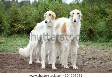 Pair of borzoi hounds on the background of nature