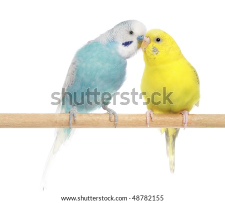 Pair of budgies, isolated on a white background