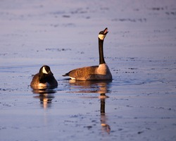 Pair of Canada geese floating on the blue water of the St. Lawrence River during an early spring morning, with one bird cackling with beak wide open, Cap-Rouge area, Quebec City, Quebec, Canada