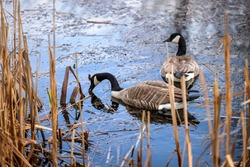 Pair of Canada Geese swimming and eating in marshland