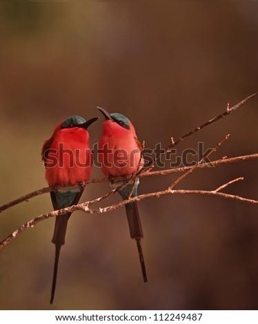 Pair of Carmine bee-eaters
