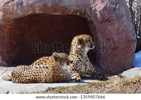 Pair of cheetahs watching from the den