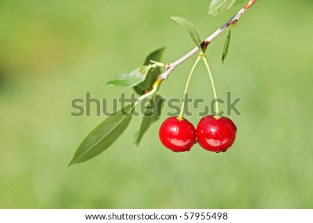 Pair of cherries on cherry-tree in orchard. Shallow focus depth on cherries