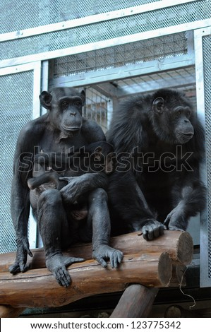 pair of chimpanzees in the zoo