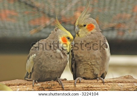 Pair of cockatiels on perch