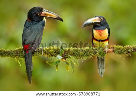 Pair of Collared Aracari, Pteroglossus torquatus, birds with big bills. Two Toucans sitting on the branch in the forest, Boca Tapada, Costa Rica.