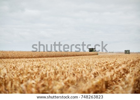 Pair of combine harvesters harvesting a field of dried autumn maize viewed low angle over cut stubble or stalks in the horizon against a grey cloudy sky