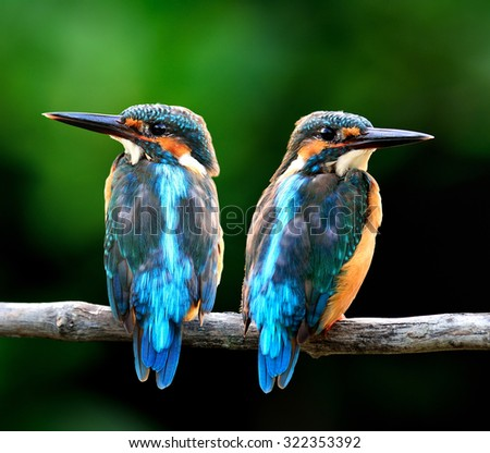 Pair of Common Kingfisher, the beautiful blue birds considered as the migration birds to Thailand in winter, sweet blue birds