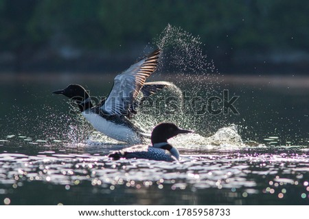 Pair of common loon in summer, Quebec, Canada Stockfoto ©