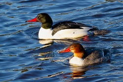 pair of Common Mergansers, Vancouver, BC, Canada
