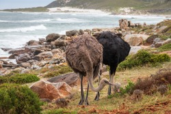 Pair of common ostriches (Struthio camelus) with chicks against Atlantic coast in South Africa