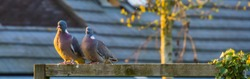 pair of common wood doves sitting next to each other, common birds of europe