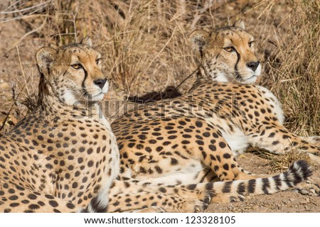 Pair of cougars (Puma concolor), also known as the puma, mountain lion, panther, or catamount