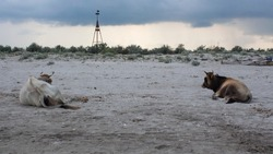 Pair of cows sitting on the sands of the Saint George Beach located in the Danube's Delta, Romania.
