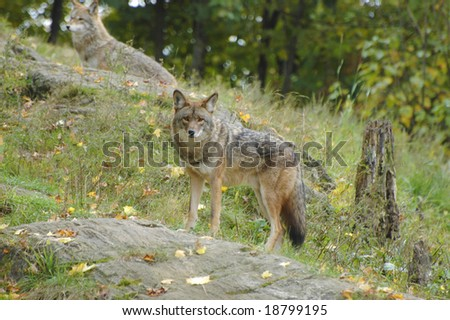 Pair of coyotes roaming the mountain side - stock photo